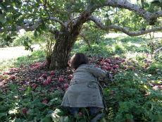 落ちてるリンゴをピックアップ(十中八九食べられません)